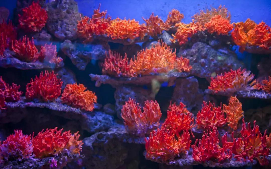 俏丽珊瑚|红珊瑚315,教你如何鉴定红珊瑚的真假